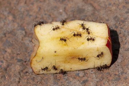 Foto de A Close up view of a cut red apple being eaten with big ants on a concrete driveway - Imagen libre de derechos