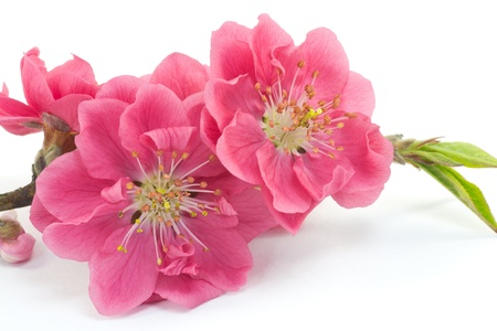 This is a picture of plum flowers is typical of the spring flower of Japan