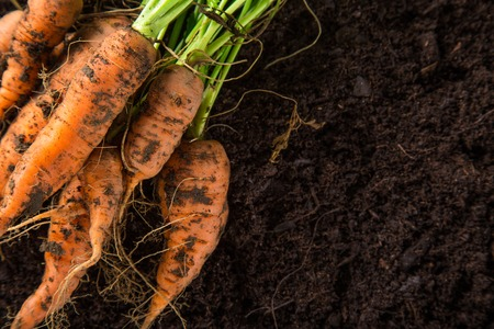 Photo pour carrots in the garden, close-up. - image libre de droit