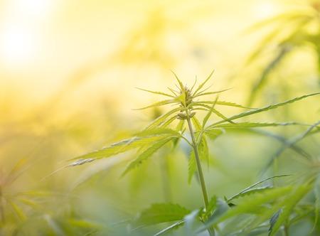 Photo pour Young cannabis plants, marijuana, close-up. - image libre de droit