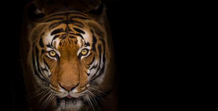 Photo pour Portrait of Sumatran Tiger close-up. - image libre de droit