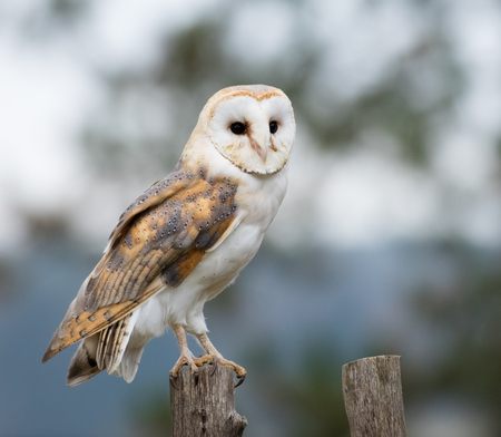 Photo for Portrait of a Barn Owl perches on a fence post. - Royalty Free Image