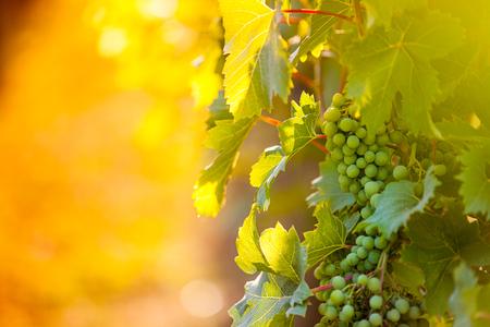 Photo pour Whites grapes (Pinot Blanc) in the vineyard, Croatia. - image libre de droit