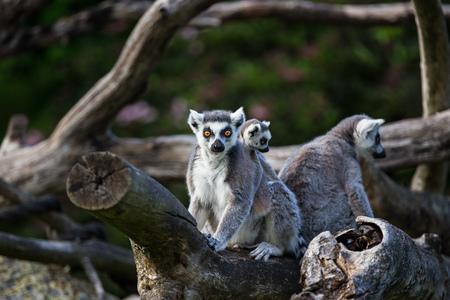 Foto de Tailed lemurs (Lemur catta) sitting on a branch - Imagen libre de derechos