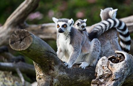 Photo pour Tailed lemurs (Lemur catta) sitting on a branch - image libre de droit