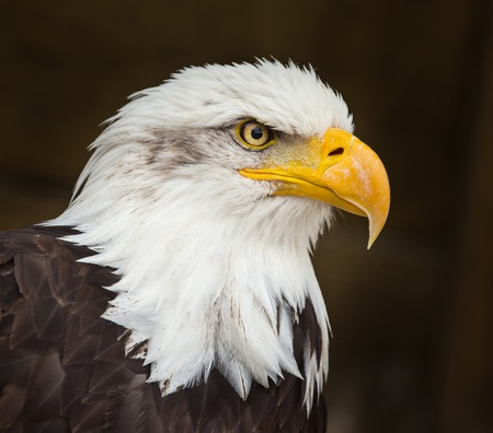Photo pour Portrait of a bald eagle (haliaeetus leucocephalus) - image libre de droit