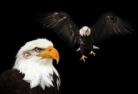 Photo pour Portrait of a bald eagle (haliaeetus leucocephalus) - image libre de droit