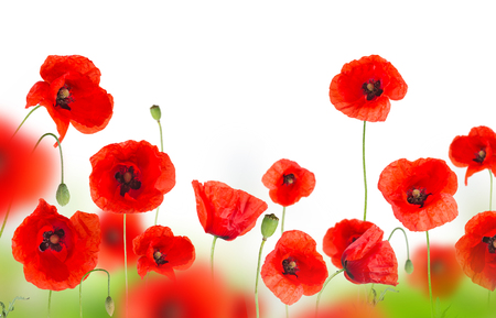 Foto de Beautiful poppy background with free space for your text. - Imagen libre de derechos