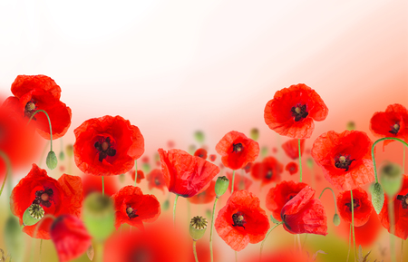 Photo for Beautiful poppy background with free space for your text. - Royalty Free Image