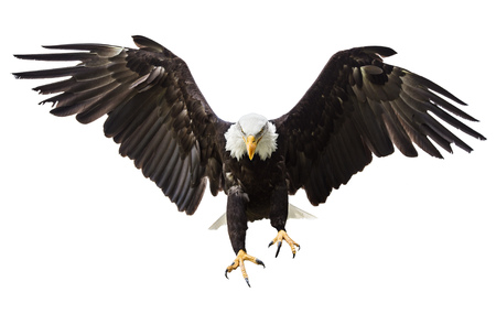 Photo pour Bald Eagle flying with American flag - image libre de droit