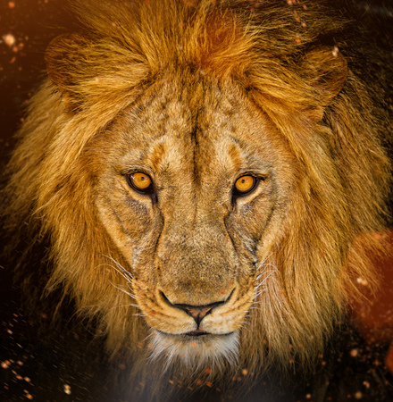 Photo for Portrait of a male African lion - Royalty Free Image