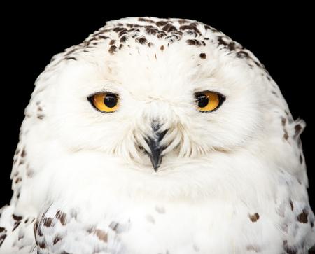 Photo pour portrait of a beautiful snow owl - image libre de droit