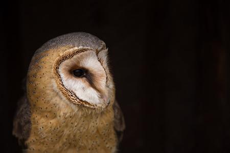 Photo pour A beautiful barn owl, close-up. - image libre de droit