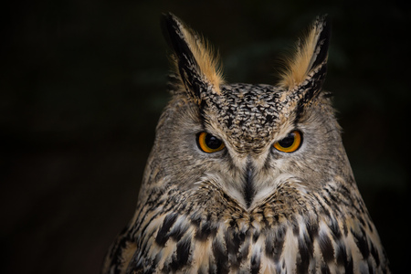Photo for A Long-eared Owl (Asio otus) portrait with dark background. - Royalty Free Image