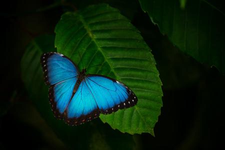 Photo pour Blue morpho (morpho peleides) on green nature background, close-up. - image libre de droit