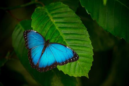 Photo pour Blue morpho (morpho peleides) on green nature background. - image libre de droit