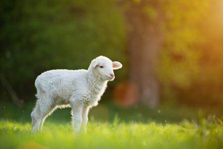 Foto de cute little lamb on fresh green meadow - Imagen libre de derechos