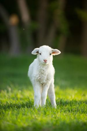 Foto de cute little lamb on fresh spring green meadow during sunrise - Imagen libre de derechos