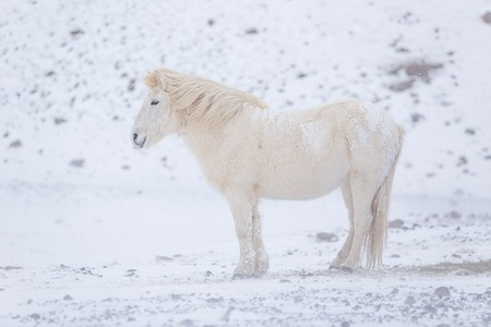 Foto de White Icelandic horse in the mountains in Iceland. - Imagen libre de derechos