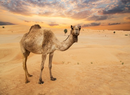 Photo for Middle eastern camels in a desert - Royalty Free Image