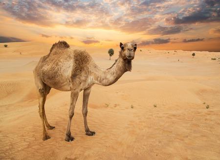 Photo pour Middle eastern camels in a desert - image libre de droit