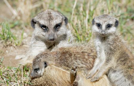 Photo pour portrait of a meerkat family - image libre de droit