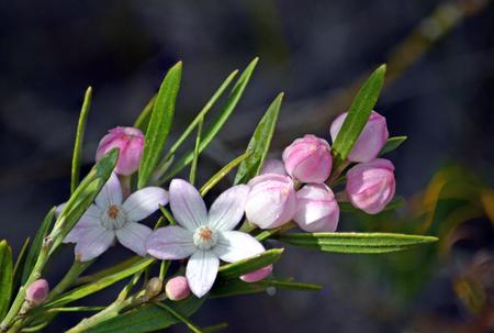 Foto de Raindrops on Australian native Pink Waxflowers, Eriostemon australasius, family Rutaceae, Uloola track, Royal National Park, Sydney, NSW, Australia - Imagen libre de derechos
