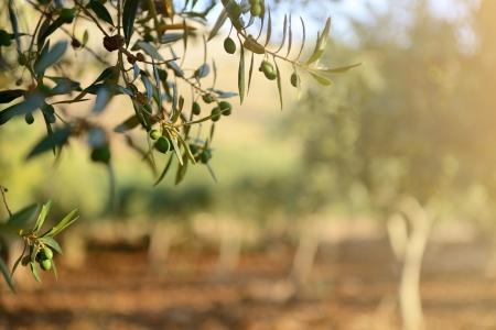 Photo for Olive trees garden, mediterranean olive field ready for harvest. - Royalty Free Image