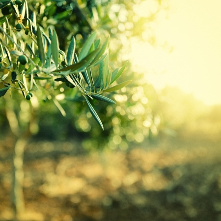 Foto de Olive trees garden, mediterranean olive field ready for harvest, toned and grain added - Imagen libre de derechos