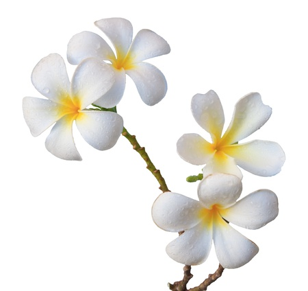 Photo for white frangipani flower isolated white - Royalty Free Image