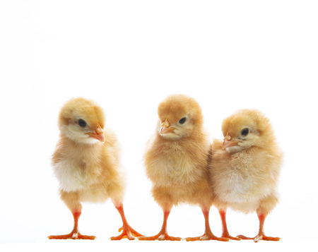 Photo pour three of little yellow kid chick standing on white background with varities emotion use for animals farm theme and multipurpose - image libre de droit