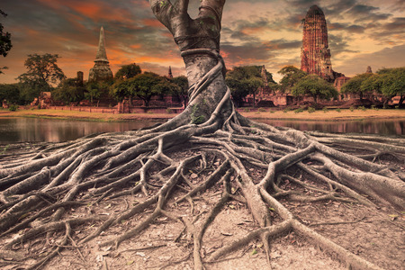Photo for big root of banyan tree land scape of ancient and old  pagoda in history temple of Ayuthaya, central of thailand important destination of tourist - Royalty Free Image