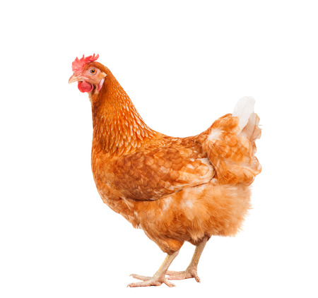 Photo pour full body of brown chicken hen standing isolated white background use for farm animals and livestock theme - image libre de droit