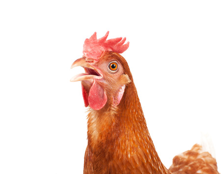 Photo pour close up of chicken head funny acting isolated white background - image libre de droit