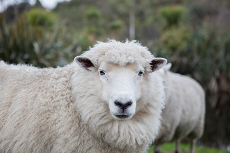 Foto de close up merino sheep in new zealand livestock farm - Imagen libre de derechos
