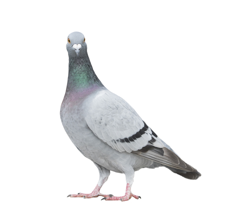 Photo for close up full body of speed racing pigeon bird looking to camera isolate white background - Royalty Free Image