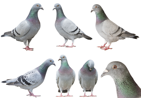 Photo for mixed of pigeon bird isolated white background - Royalty Free Image