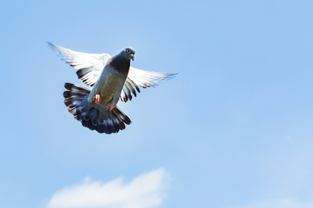 Foto de homing speed racing pigeon landing to ground - Imagen libre de derechos