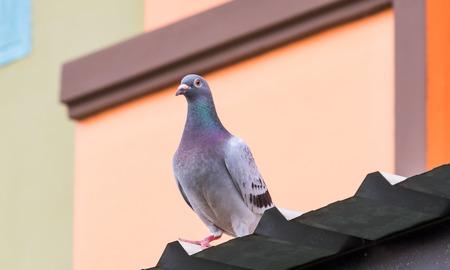 Foto de homing pigeon standing on home roof - Imagen libre de derechos