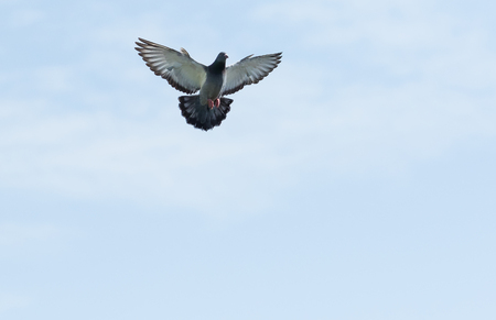 Photo for full body of homing pigeon hovering on sky - Royalty Free Image