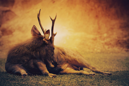 Foto de sambar deer lying on wilderness field - Imagen libre de derechos
