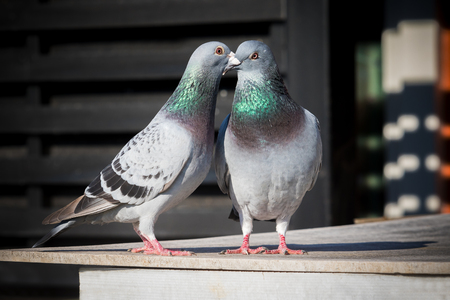 Photo for couples of homing pigeon breeding behavior - Royalty Free Image