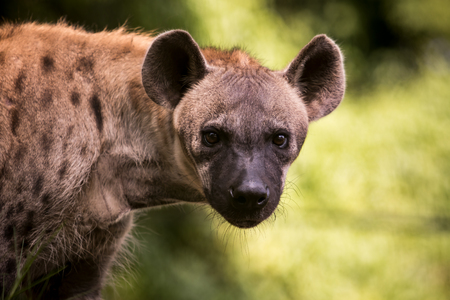 Photo pour close up face of hyena  and eye looking to hunting - image libre de droit