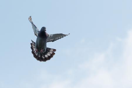 Foto de flying homing pigeon against clear morning sky - Imagen libre de derechos