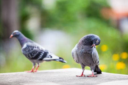 Foto de two homing pigeon against beautiful green blur background - Imagen libre de derechos