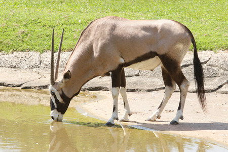 Photo pour gemsbok antilope drinking water in field - image libre de droit