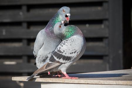 Foto de couples of homing pigeon bird natural mating - Imagen libre de derechos