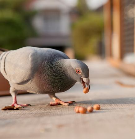 Foto de homing pigeon bird eating peanut - Imagen libre de derechos
