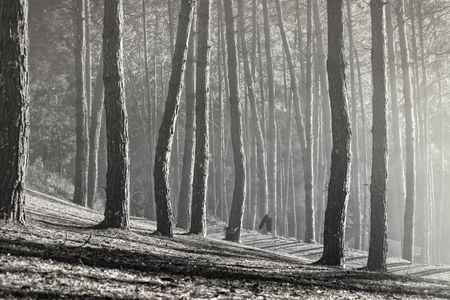 Photo for black and white photography of pine forest in northern of thailand - Royalty Free Image