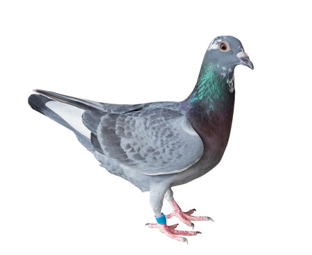 Photo for sport racing pigeon bird isolate white background - Royalty Free Image